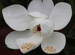 IMG_1260 Sweet Magnolia Offerings  .jpg